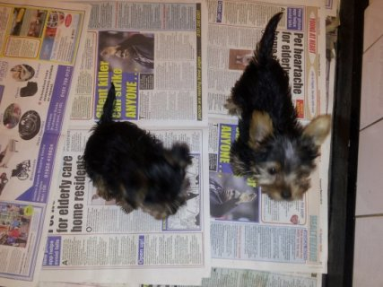 Yorkie Puppies for Adoption 778767