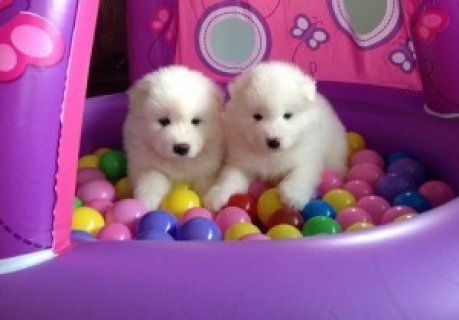 Samoyed Puppies for Sale 6565