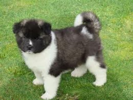Akita Puppies for Sale 6432