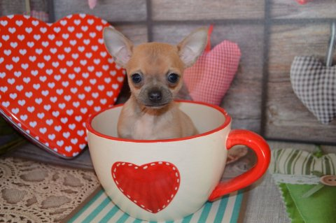 Cute Chihuahua Puppies 12321