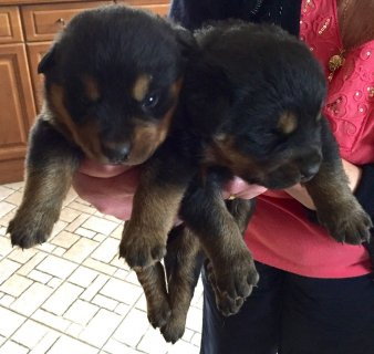 Cute Rottweiler Puppies for Adoption 09876