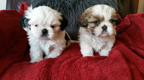 Shih Tzu for Sale 45643