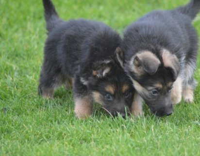 German Shepherd Puppies 433332