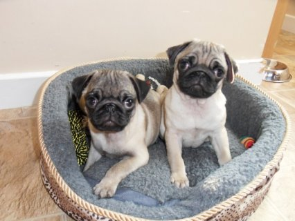 Pug Puppies Available 6663