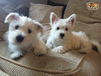 West Highland Terrier Puppies available.3244