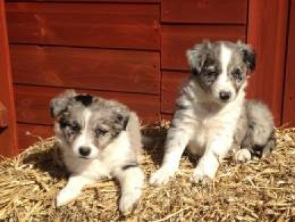 Border Collie for sale 4512