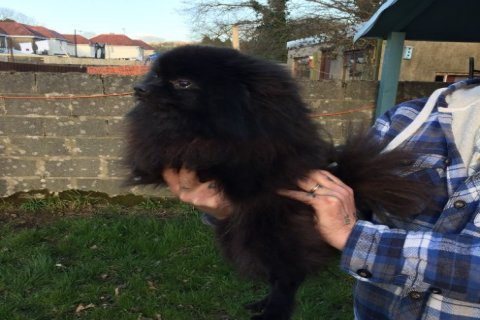 Beautiful Purebred Pomeranian Puppies For Sale