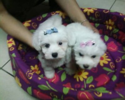 Lovely Teacup Maltese Puppies Available