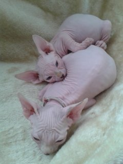 صور Beautiful Sphynx Kittens 1