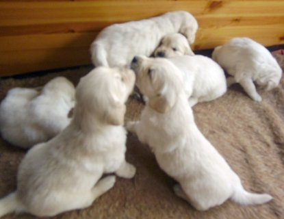 Adorable male and Female golden retriever  Puppy Available