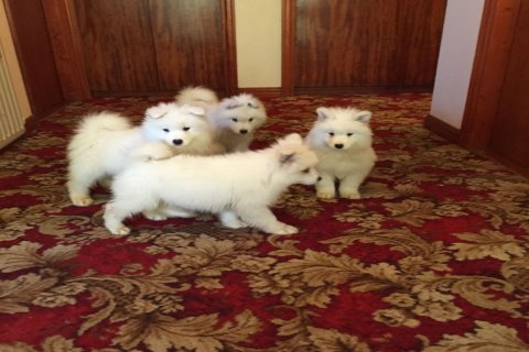 Top quality Semoyed puppies for adoption