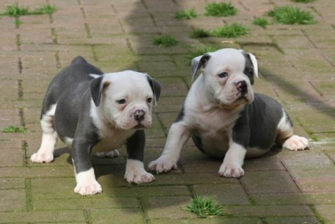 صور  English Bulldog Puppies available For Sale 1