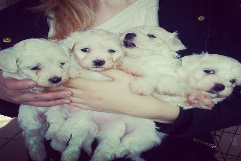 Cute and Adorable Maltese Puppies for Sale