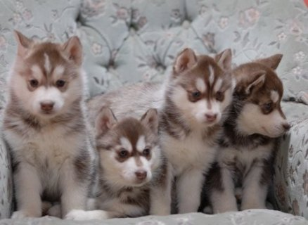 Male and Female Siberian Husky Puppies Available For Sale