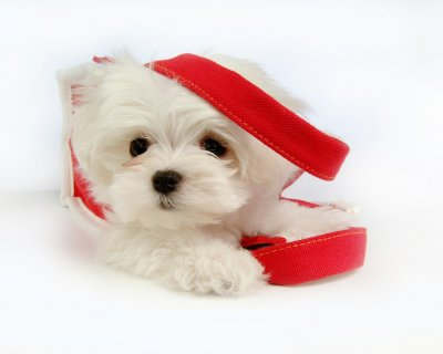 صور Cute Male And Female Maltese Puppies For Rehoimng 1