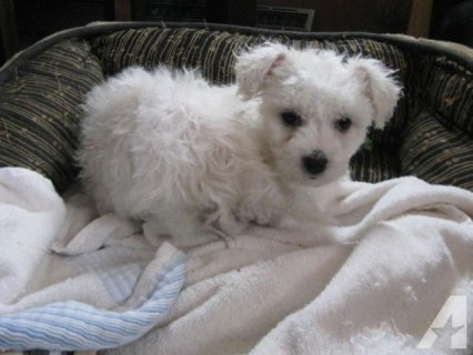 صور  Cute Bichon Frise puppies For Rehoming1 1
