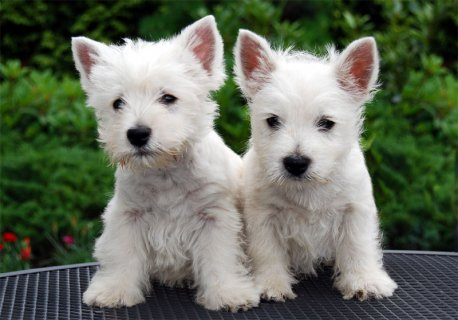 Male/Female West Highland White Terrier Puppies For Sale