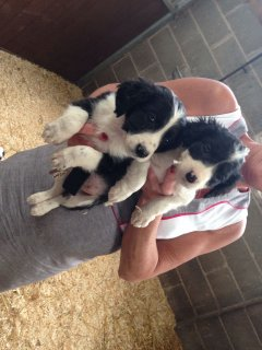 Magnificent Bearded Collies Puppies For Re-homing