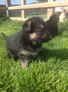 Healthy german shepherd puppies  For Adoption