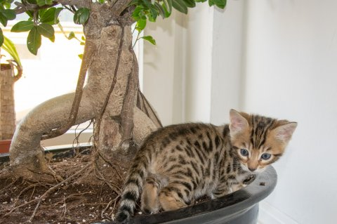 Lovely Bengal kitten for adoption