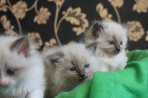 Gorgeous Ragdoll Kittens for adoption