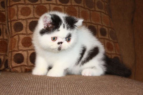 Exotic Shorthair Kittens For Rehoming  Healthy and Smart Kittens