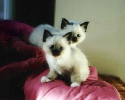 Male and Female Birman Kittens