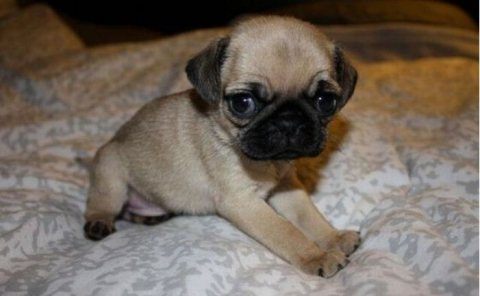 Black And Grey Pug Puppies Available For Good Home22
