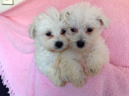 صور Snow white bichon frise puppies for adoption1 1