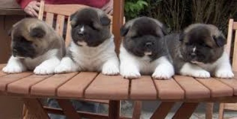 ADORABLE akita PUPPIES
