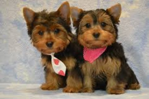 Nice baby face Adorable Teacup Yorkie Puppies For Free Adoption