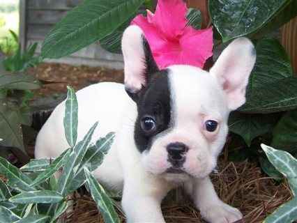 Two Gorgeous French Bulldog Puppies for adoption2