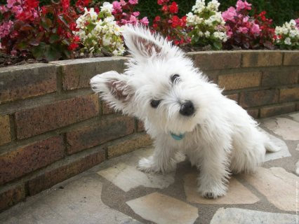 West Highland Terrier Puppies for adoption11