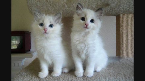 صور Cute Male And Female Ragdoll Kittens For New Home12 1