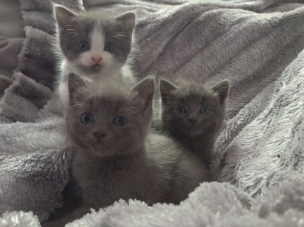 Trained and Hand Raised Russian Blue Kittens11