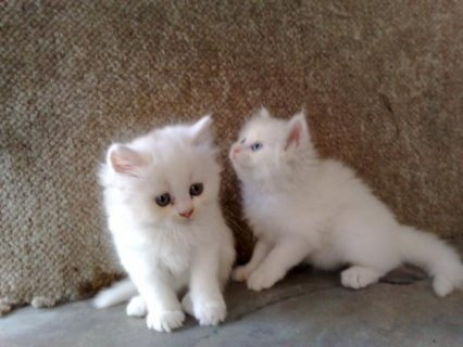 White Color Male and Female Persian Kittens For Rehoming1111