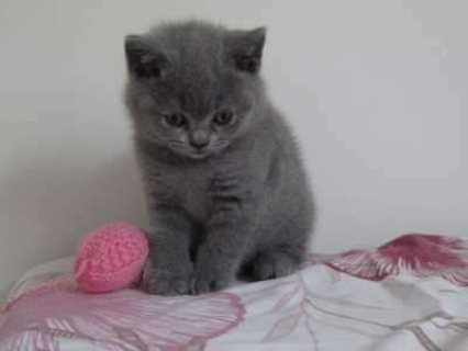 صور Cutest British Short Hair Kittens Available For Rehoming111111 1