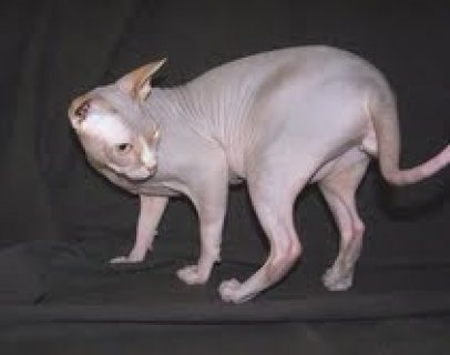 .......Beautiful Sphynx kittens....................