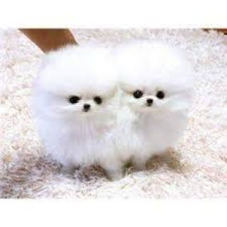 Cute Pomeranian Puppies for addoption 11