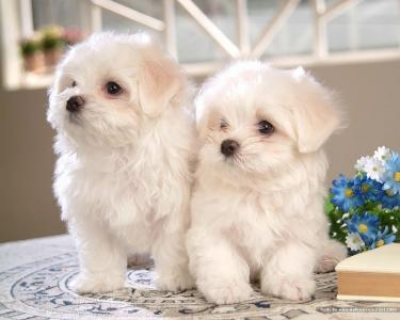 Two Healthy Tiny White Maltese Puppies