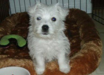 West Highland White Terrier 6543