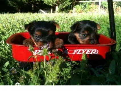 AKC Registered Yorkie Puppies