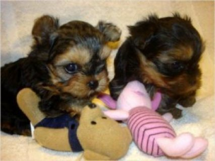 Teacup Yorkie Puppies for Adoption 11