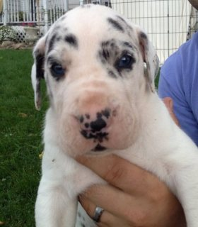 Great Dane Puppies For Adoption.......