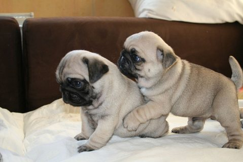 Gorgeous pug Puppies For Adoption 554