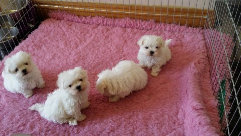 صور Well Trained Teacup Maltese Puppies For Adoption 1
