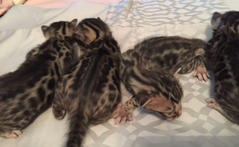 Cute bengal  Kittens Currently Available