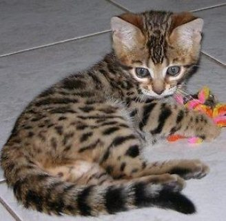 Sweet male and female bengal kittens for sale