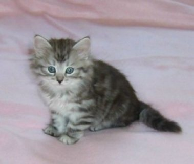 Outstanding Siberian kittens Available For Sale