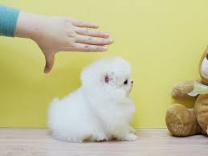 nice Looking Pomeranian Puppies for sale 124